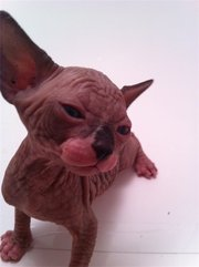 Hairless Sphynx kittens available for re-homing