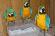 lovely macaw parrots for free adoption .contact 07031808604